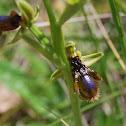 Erva abelha dos calcários