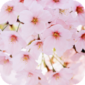Cherry Flowers Live Wallpaper APK
