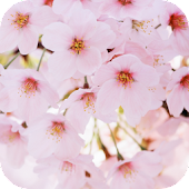Cherry Flowers Live Wallpaper
