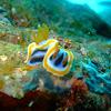 Nudibranch Chromodoris annae