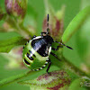 Green shield bug (young larvae)