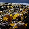 Alga marina. Algae