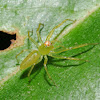 Magnolia green jumping spider (female)