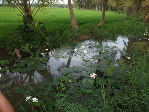 Paddy Fields With Water Ponds Containing Lilly East Godavariandhra Pradesh By Sai