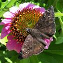 Duskywing Skipper butterfly