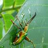 Frog-legged Leaf Beetle