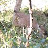 Black tail deer (fawn)