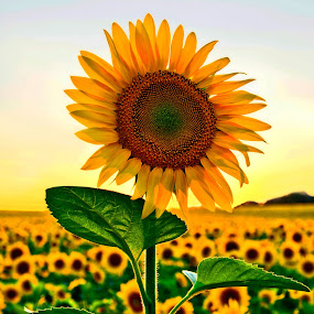 The Proud Sunflower by Bill Morris - Flowers Single Flower ( field, nature, sunflower, flowers, landscape, golden hour, sunset, sunrise,  )