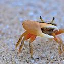 Fidler Crab
