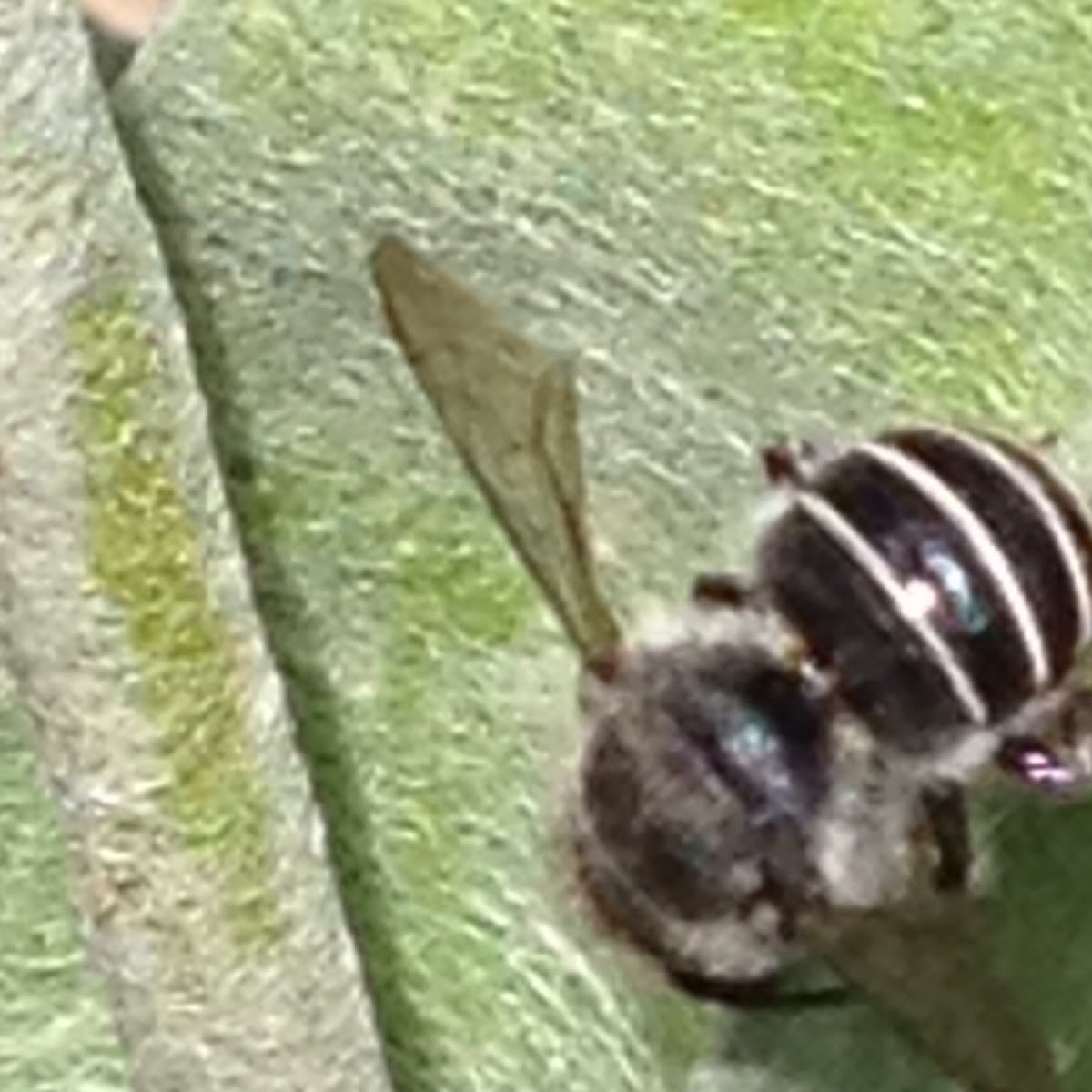 Black and white striped bee