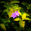 golden duranta