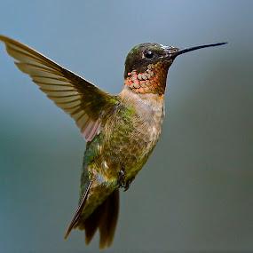 by Roy Walter - Animals Birds ( flight, animals, rubythroated hummingbird, wildlife, birds )
