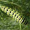 Black swallowtail caterpillar (final instar)