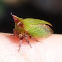 Acacia Horned Treehopper