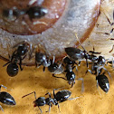 Black House Ants