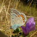 Common Blue Butterfly / Obični plavac