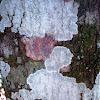Crustose Lichen