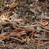 Culebra de Cola Larga / Long-tailed Snake