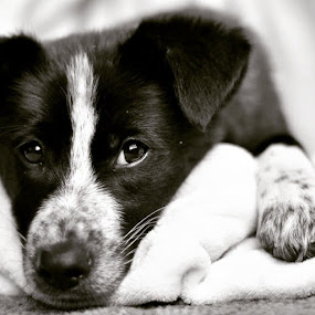 by Sadie Grover - Animals - Dogs Puppies ( sadieraephotography, instapet, puppyeyes, adopt, 8weeks, bordercollie, puppy, bordercolliepuppy, poundpuppy, mutt, petphotography, petphotographer )