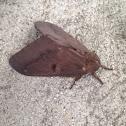 Pine Devil Moth