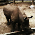 White Rhinoceros/Rinoceronte blanco