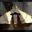 Apatelodes moth