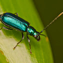 Metallic Blue Flea Beetle