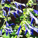 Sapphire Salvia