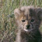 Baby Upset Cheetah Wallpaper