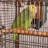 Double Yellow Headed Parrot