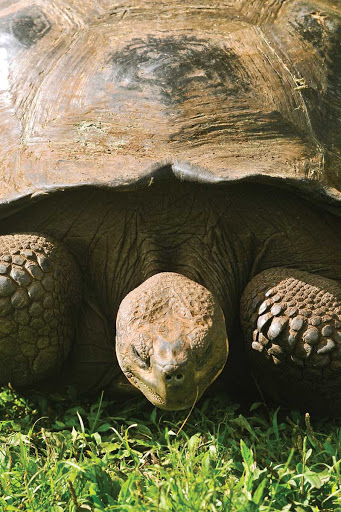 "Galapagos_giant_tortoise_4 - ""Wanna race? Come on, I know you do!"""