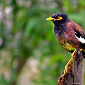 angry bird by Pravin Dabhade - Animals Birds ( canon, bird, nature, closeup, animal )