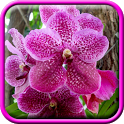 Pink Orchid Live Wallpaper icon