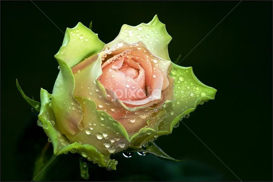From The Heart by Rudi Kleynhans - Flowers Single Flower