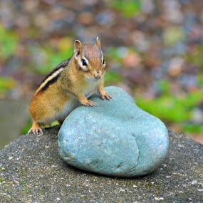Chipmunk  by Char Robertson - Animals Other ( peanuts, black and white, little, brown, cute )