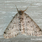Toothed Phigalia Moth