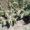 plains pricklypear