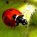 7-spot Lady Beetle
