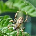 Kruisspin, European garden spider