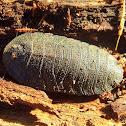 Trilobite cockroach - female