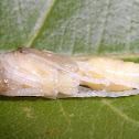 Paper wasp pupa