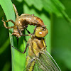Unknown Dragonfly Emerging