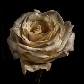 Rose in white color by Cristobal Garciaferro Rubio - Flowers Single Flower