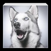 Хаски - уход за собакой