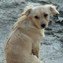 Dog (Cane)