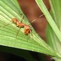 ant-mimic mantis