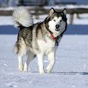 Alaskan Malamutes Dog logo