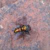 carrion flies
