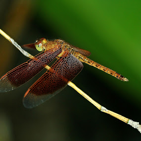 Resting Dragonfly by Ridzwan Mohd Nor - Animals Insects & Spiders ( nature, fauna, nature up close, gardens, dragonfly )