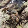 Red Rock Crab        Sally Lightfoot